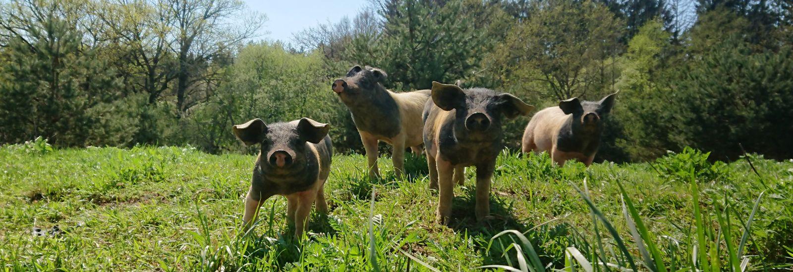 Bioschweine